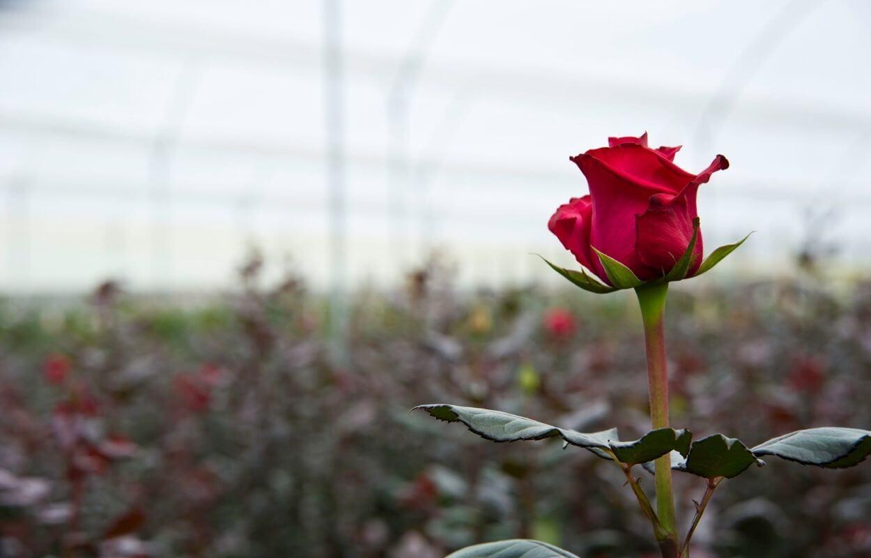 Mini rose growing tour img 010