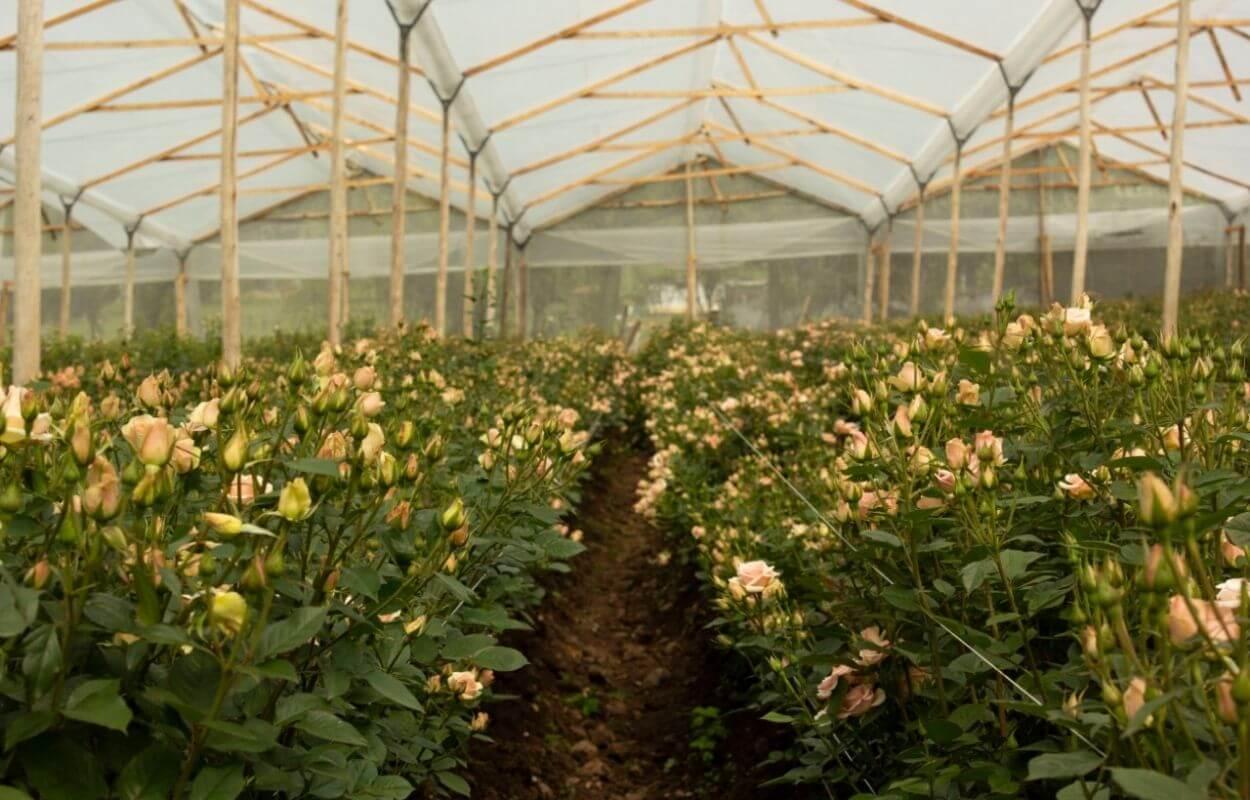 Tour cultivo de rosas bogotapass img 02