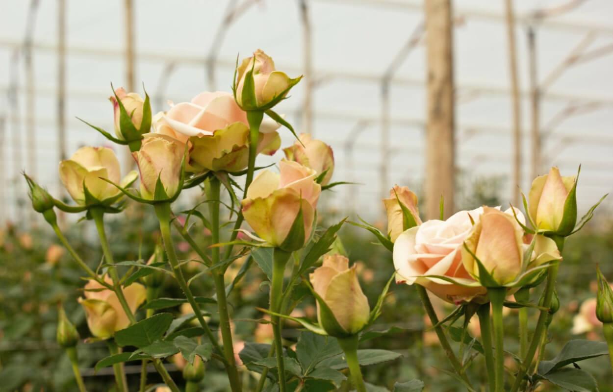 Tour cultivo de rosas bogotapass img 06